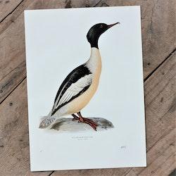 Fågelbild - Storskrake