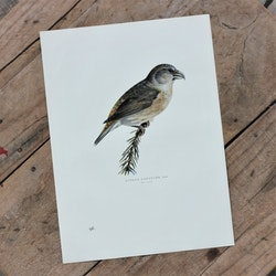 Fågelbild - Större Korsnäbb