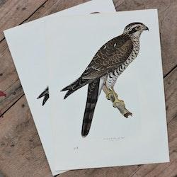 Fågelbild - Sparvhök