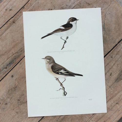 Fågelbild - Svart och vit Flugsnappare