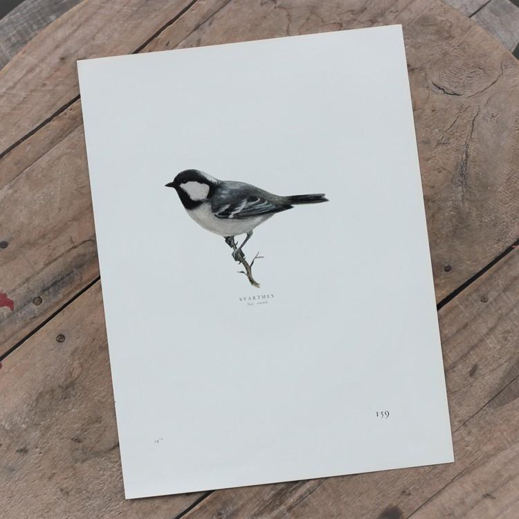 Fågelbild - Svartmes