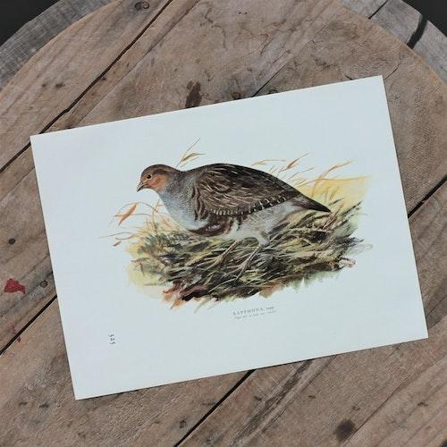 Fågelbild - Rapphöna Tupp
