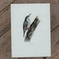 Fågelbild - Nötväcka