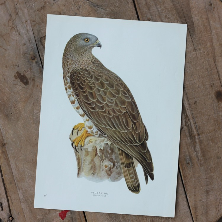 Fågelbild - Bivråk