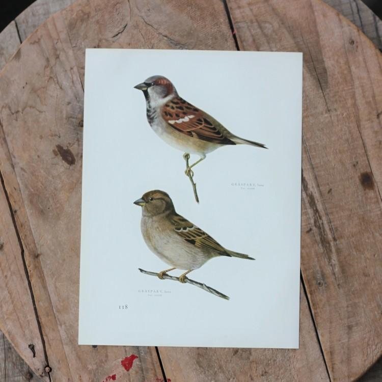 Fågelbild - Gråsparv