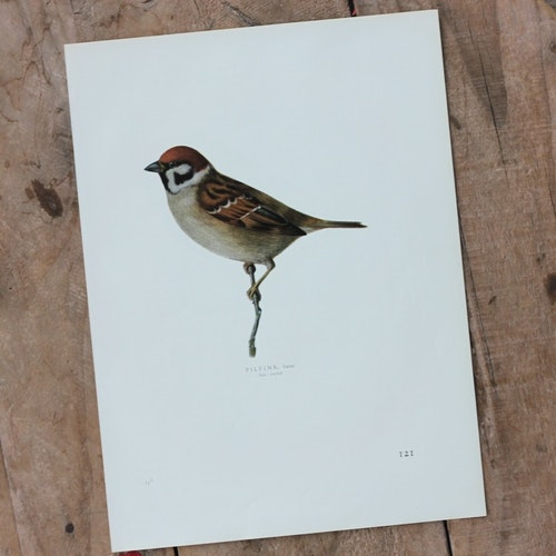 Fågelbild - Pilfink