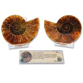 Stora Ammonitefossil från Madagaskar i presentförpackning
