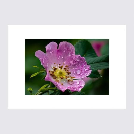 Regndroppar på blomma