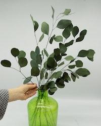 Eucalyptus Populus - Grön