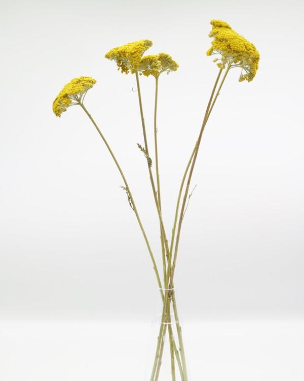 Achillea Filipend - Naturell gul