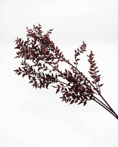 Ruscus - Vinröd