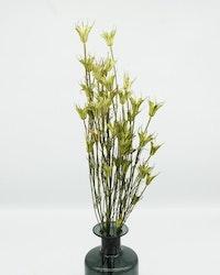 Nigella Orientalis - Naturell