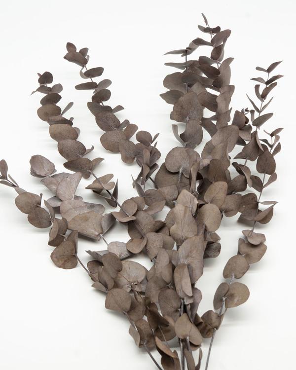 Eucalyptus cinerea - Röd