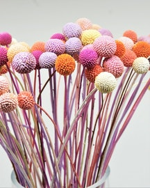 Craspedia/Solboll ,10 st.- Candy mix