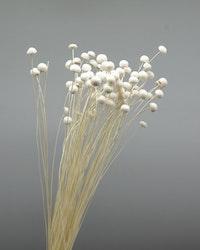 Botao - Blekt vit