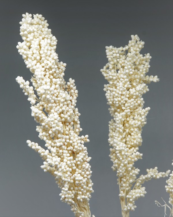 Indian Corn 3 st. Blekt vit