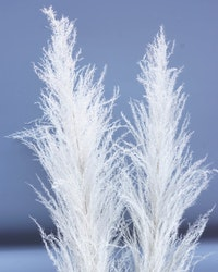 Cortaderia pampasgräs - 150 cm - Vit blekt
