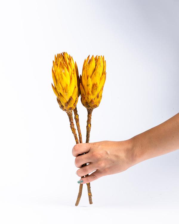 Protea  - Gul