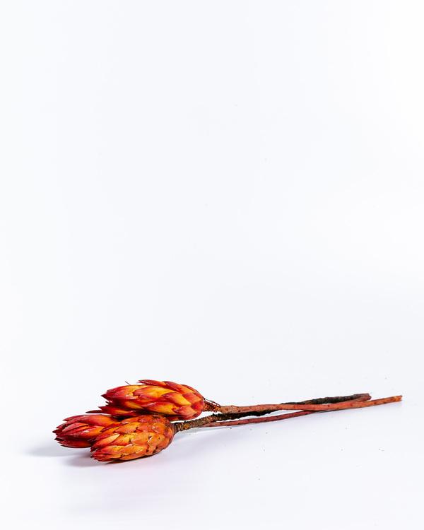 Protea - Röd