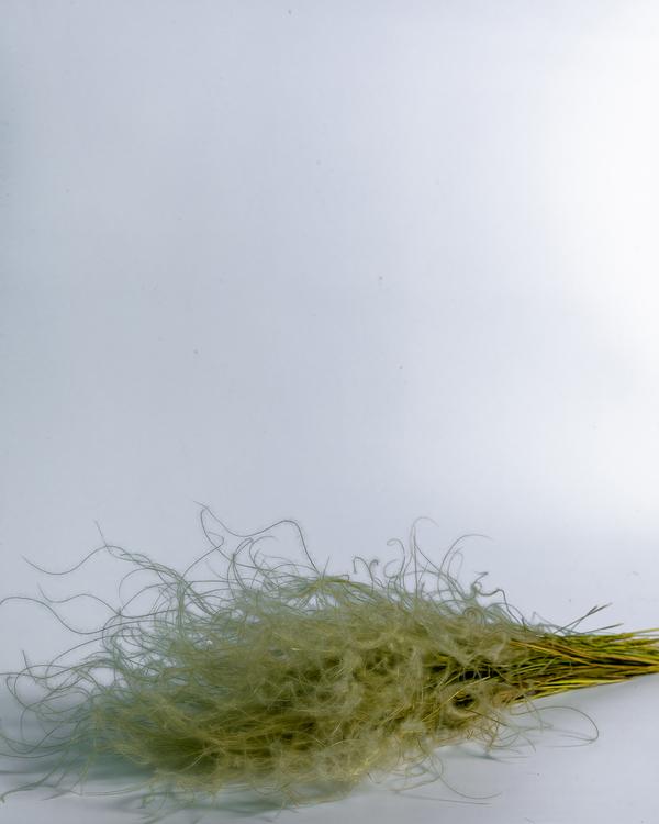 Torkade Stipa Penata - Naturell