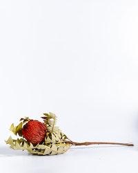 Banksia Baxteri - Röd