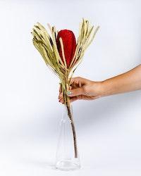Banksia Hookerana - Röd