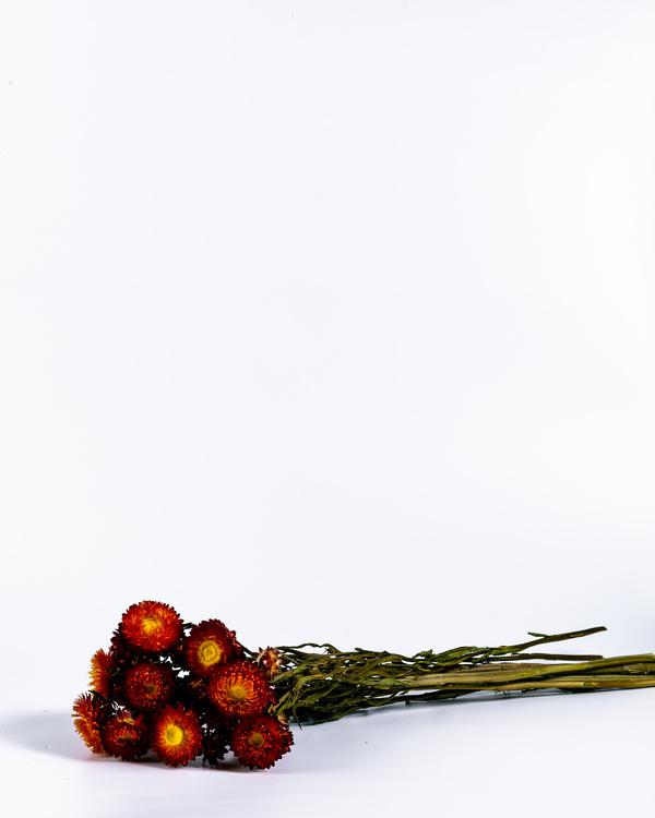 Helichrysum - Röd - Eterneller