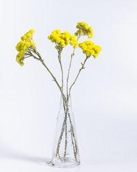 Helichrysum Immortelle - Gul