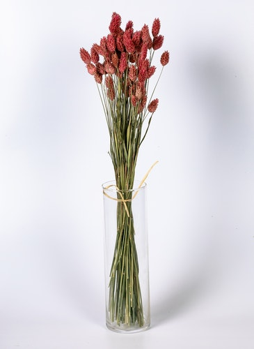 Phalaris - Rosa