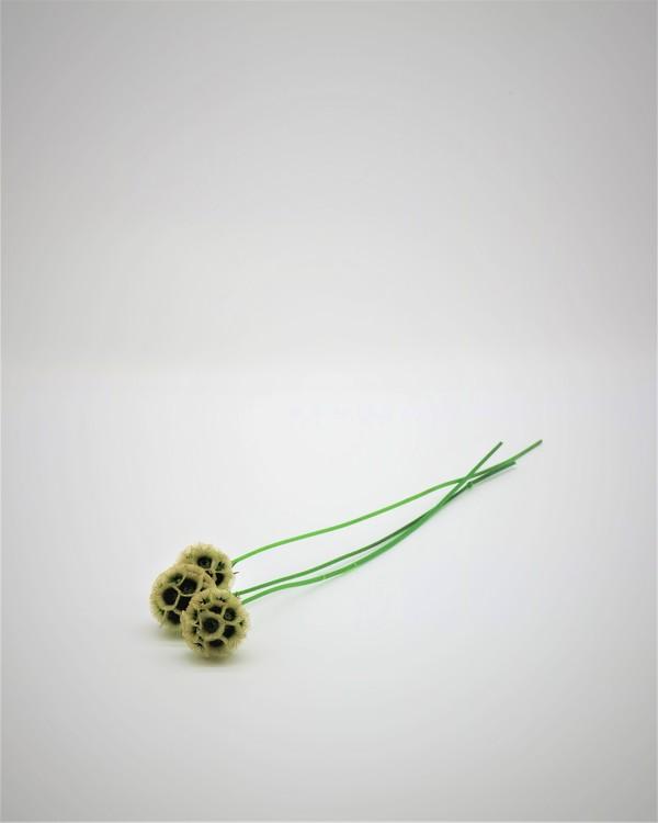Scabiosa - Hållbar