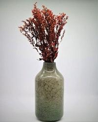 Solidago - Röd