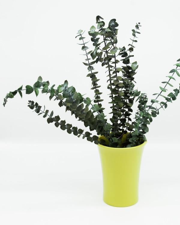 Konserverad Eucalyptus Baby - Grön