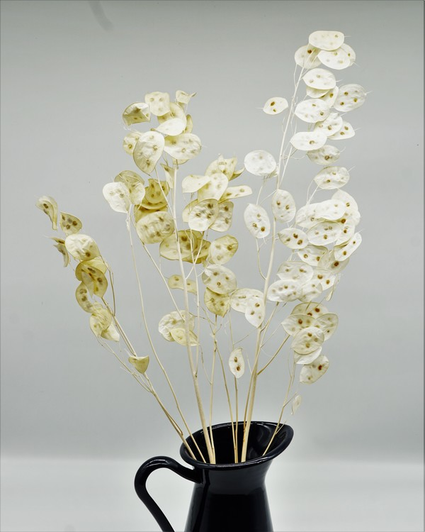 Lunaria Peeled - Vit