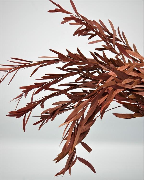 Eucalyptus Nicoli - Röd