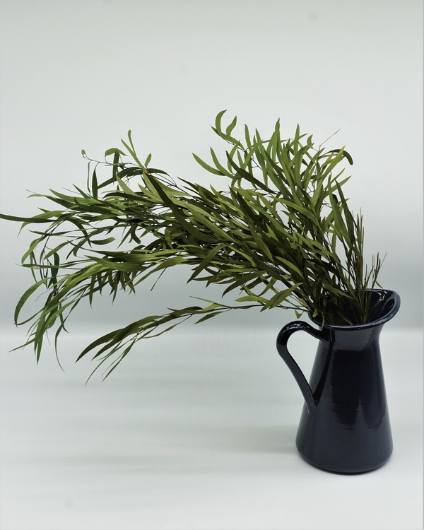 Eucalyptus Nicoli - Grön
