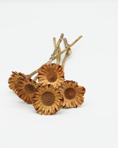 Protea Compacta 5 st- Naturell