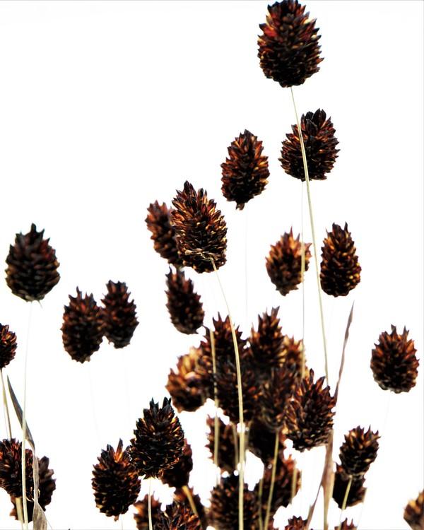 Phalaris - Mörkbrun