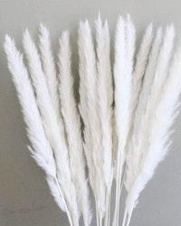 Mini fluffigt Pampasgräs - Blekt vit - 10 st.