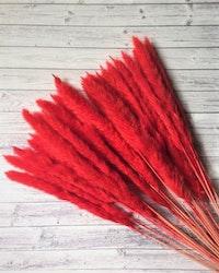 Mini fluffigt Pampasgräs - Blekt röd - 10 st.