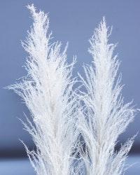 Pampasgräs  Super - 150 cm - Blekt vit