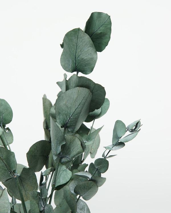 Eucalyptus cinerea - Mörk Grön