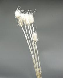 Cardoon Thistle - bleached