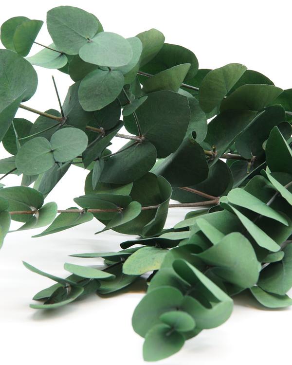 Eucalyptus cinerea - Grön - Evighetsblommor