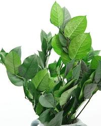 konserverade Vaktelbär -  Grön