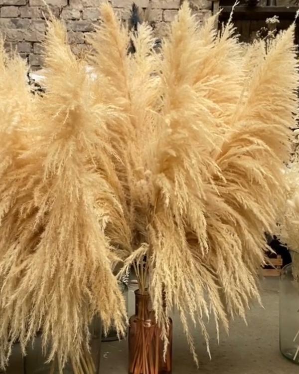 Pampasgräs extra -140 cm