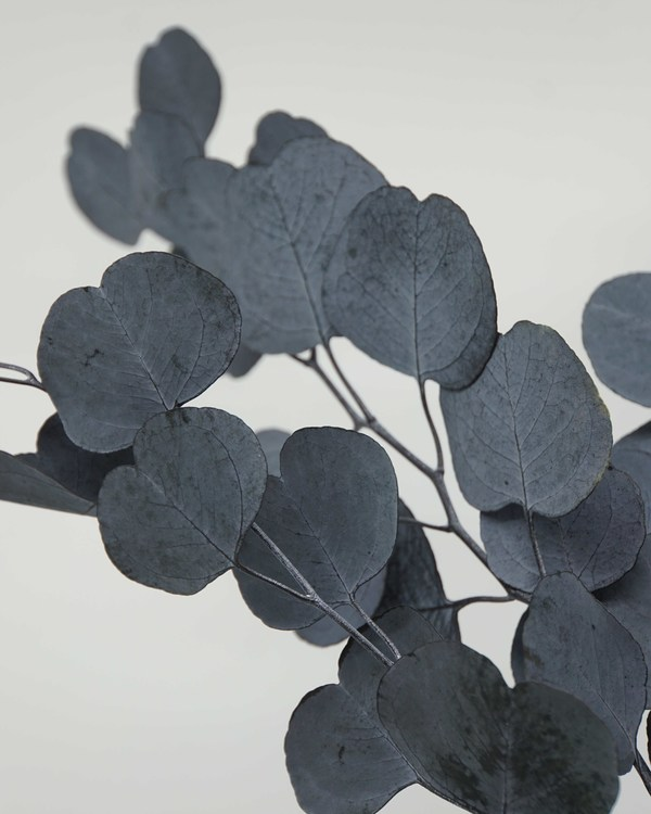 Eucalyptus Populus - Blå Grön