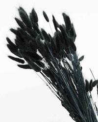 Lagurus - svart - Torkade blommor