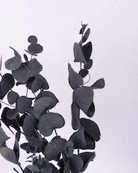 Eucalyptus cinerea - Grönblå - Evighetsblommor