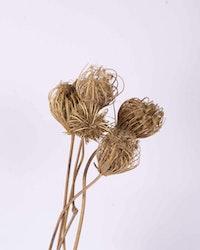 Ammi majus 5 st- Naturell - Torkade blommor