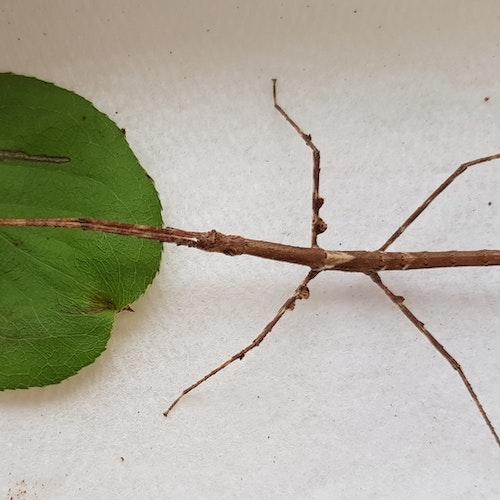 Parapachymorpha zomproi
